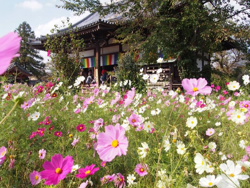 【奈良】コスモスが埋め尽くす古刹「般若寺」