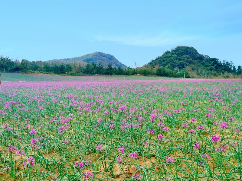 秋に鳥取砂丘を訪れたら絶対に見ておきたい!地元民だからこそ知っている【らっきょう畑】のオススメスポット教えます!