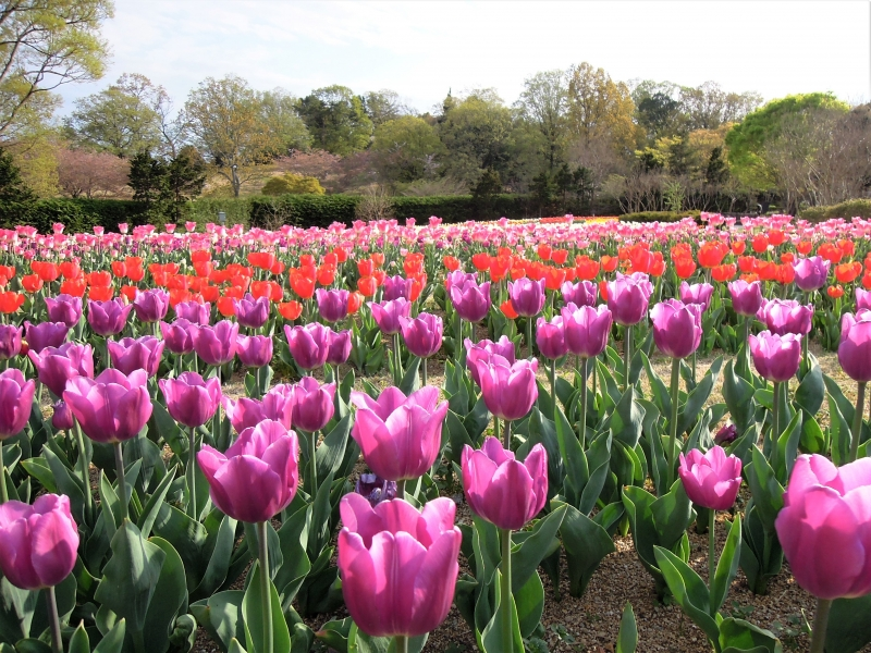 【奈良】約50万株の春の花を満喫!馬見チューリップフェア