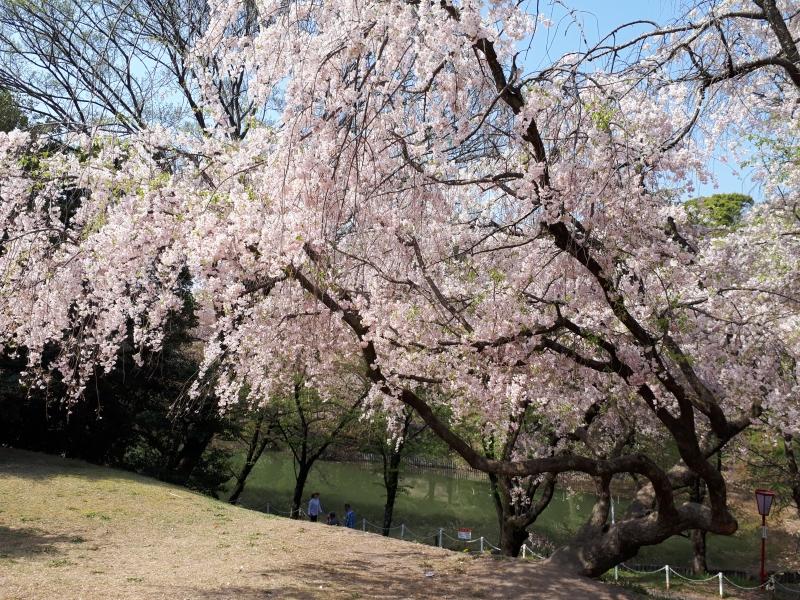 【愛知】地元民おすすめ、東海市「大池公園」四季の花の楽しみ方