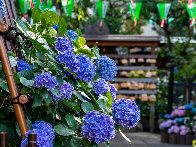 【関東】6月のおすすめ花畑29選!6月に見頃を迎える花の名所ガイド