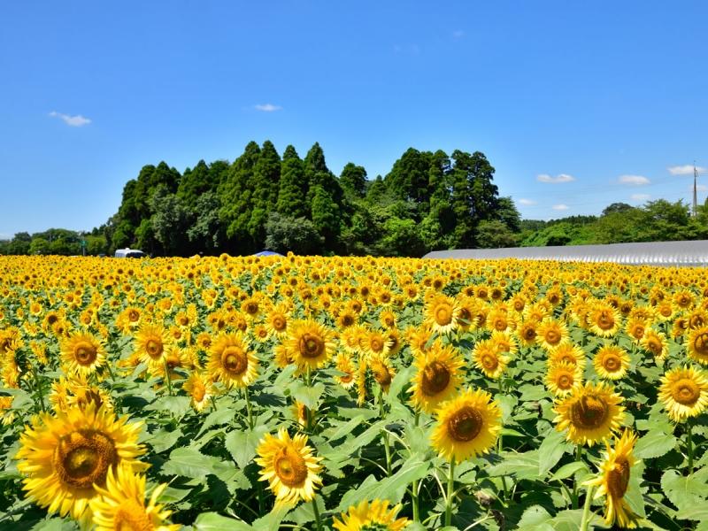 【関東】8月のおすすめ花畑13選!8月に見頃を迎える花の名所ガイド