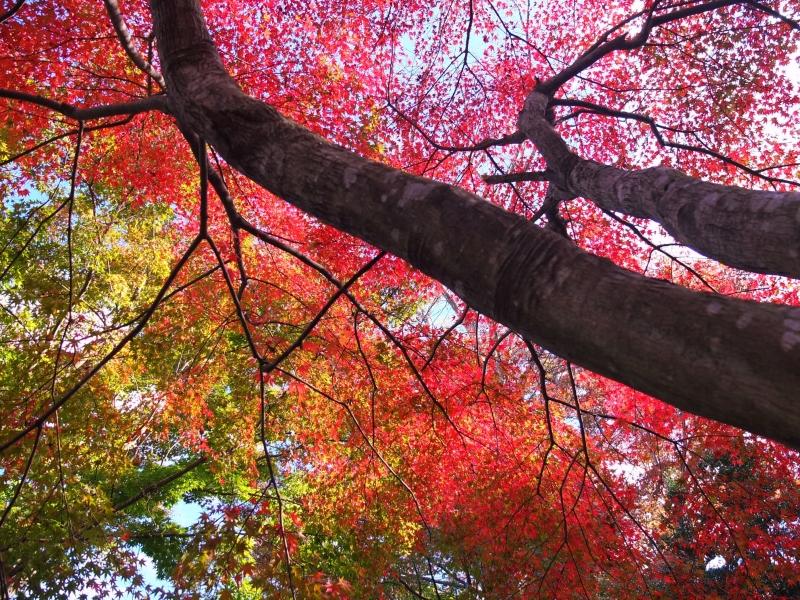 滝のあとは、モミジに漆「茨城・大子町」で、たまには、しぶ~いお散歩デート