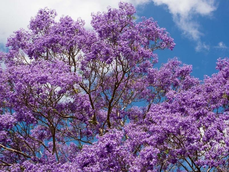【宮崎・ジャカランダまつり】1か月限定で咲く世界三大花木、ハワイ桜を見に行こう!