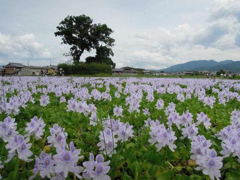 【奈良】薄紫の花が涼しげ!本薬師寺跡のホテイアオイ