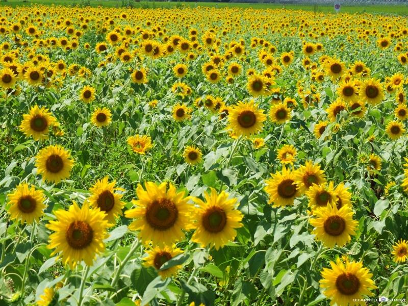 益子のひまわり畑に、滝遊び!栃木県で夏を満喫!