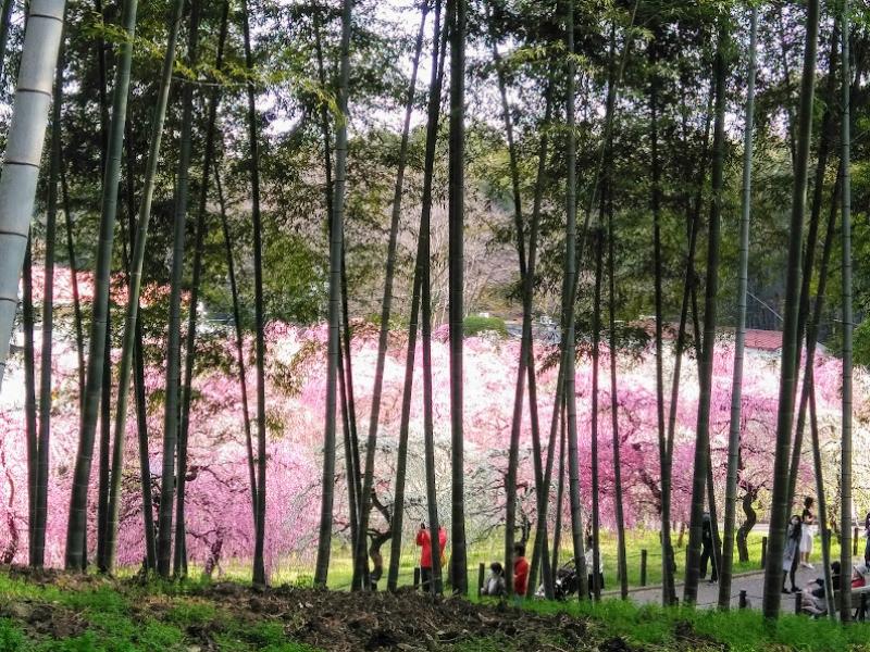 【名古屋】約700本の梅が咲き誇るしだれ梅まつり「名古屋市農業センター delaふぁーむ」