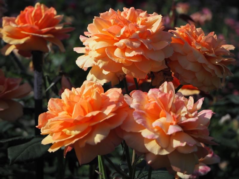 【群馬県】バラや花菖蒲、紫陽花が美しい花の穴場スポット「玉村町北部公園」