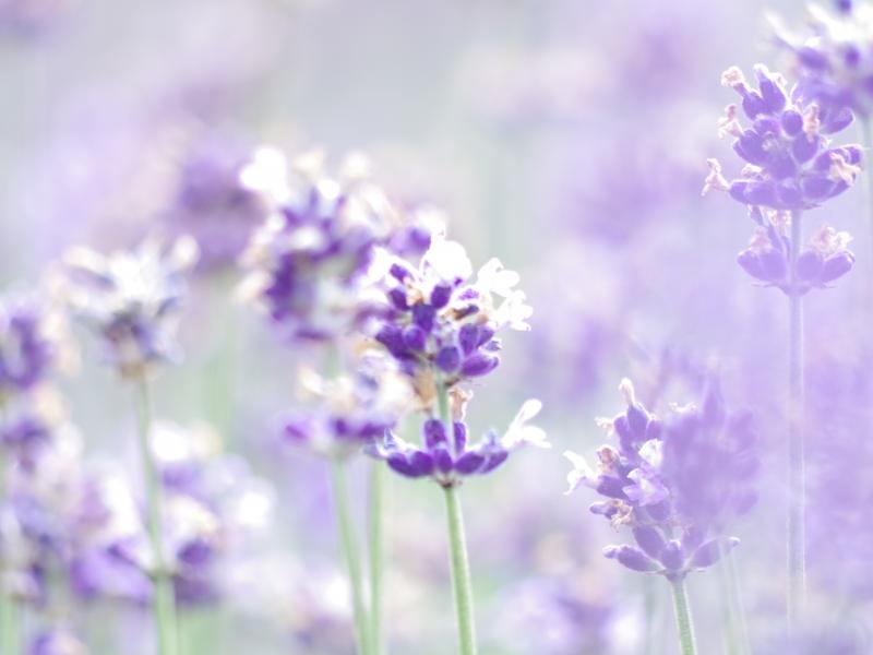【群馬・たんばらラベンダーパーク】5万株ものラベンダーや季節の花々が咲き誇る