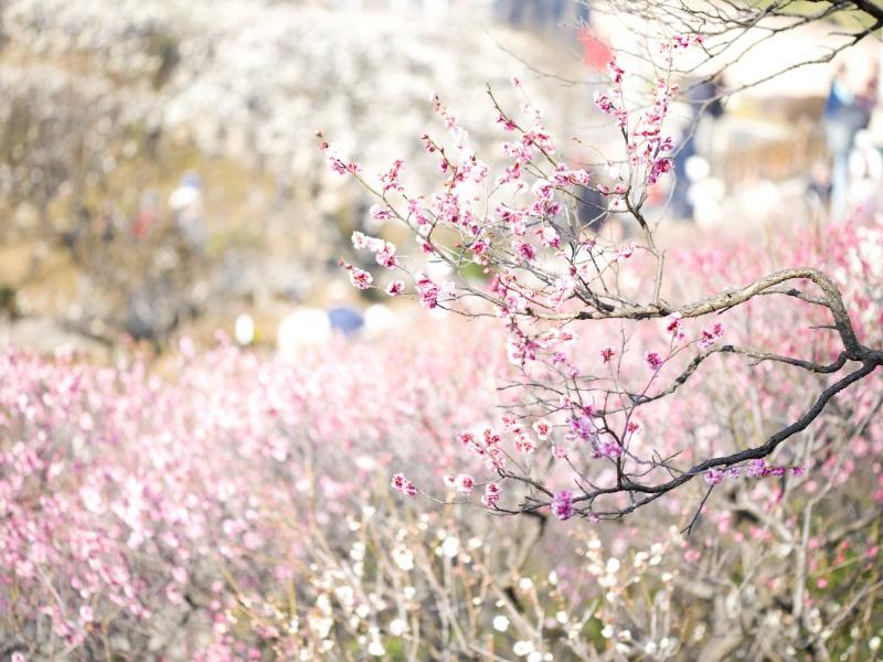 まるで桃源郷のような美しさ!370本もの梅が咲き誇る池上梅園へ【東京】