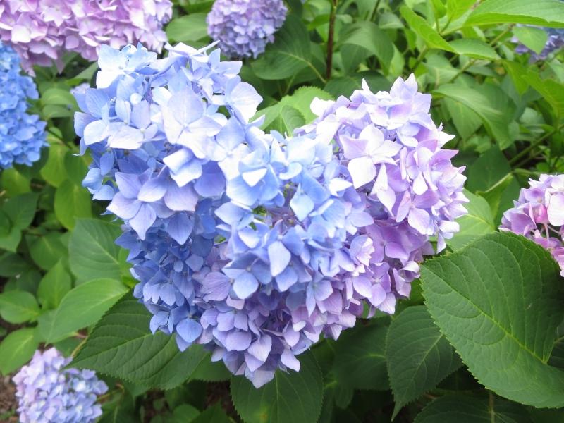 半日で楽しもう!三室戸寺の花(あじさい園)を中心とした宇治の観光とグルメ