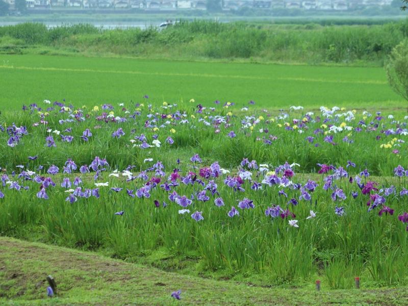 【茨城】河童で有名な牛久沼5つの見どころ!アヤメ園と一緒に