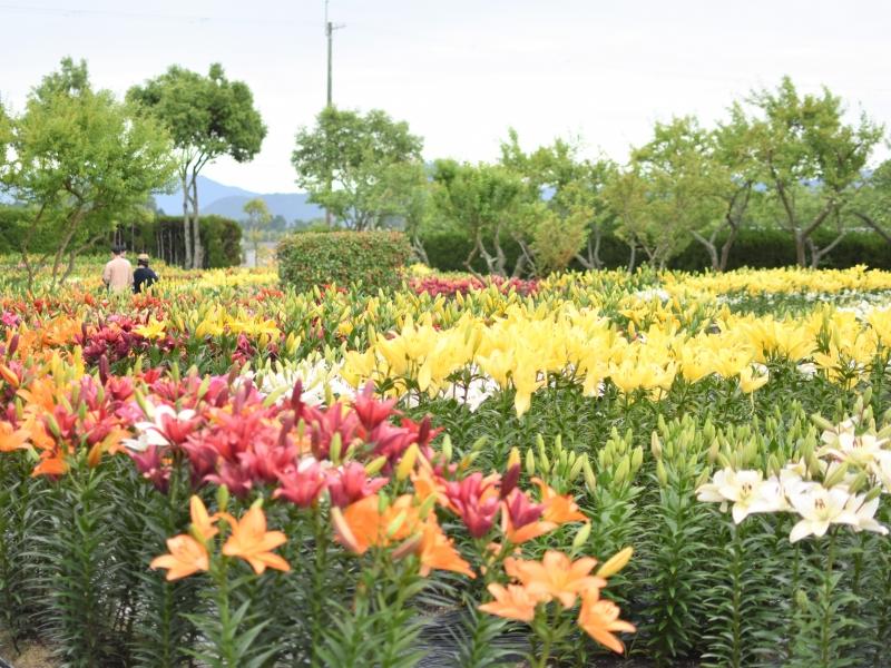 【兵庫】10万本のゆりを見よう!篠山の「玉水ゆり園」