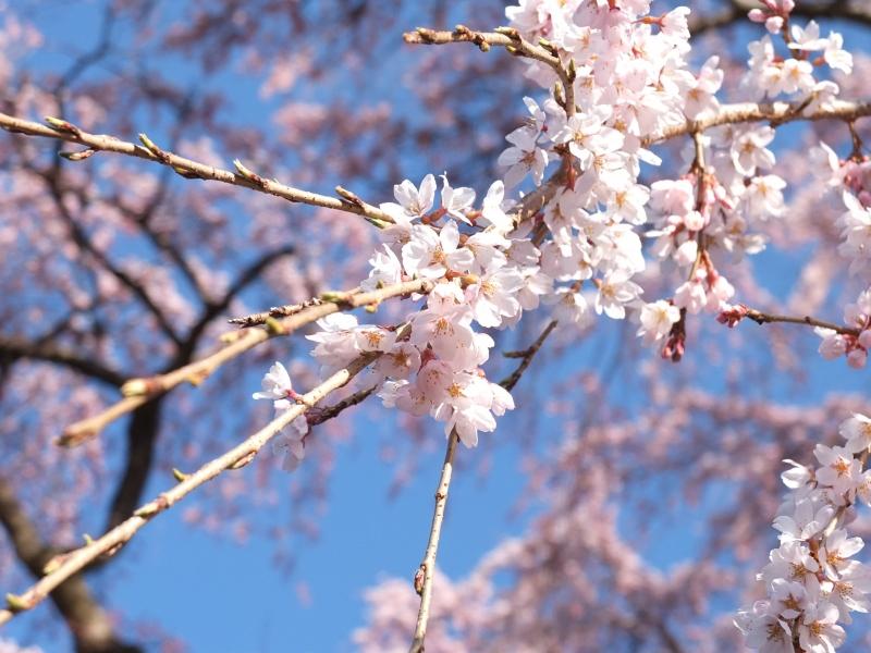 春爛漫!日本の三大巨桜「福島・三春の滝桜」に感動!