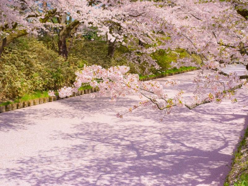 サクラ色に染まるお濠が美しい!青森「弘前さくらまつり」へ行こう!