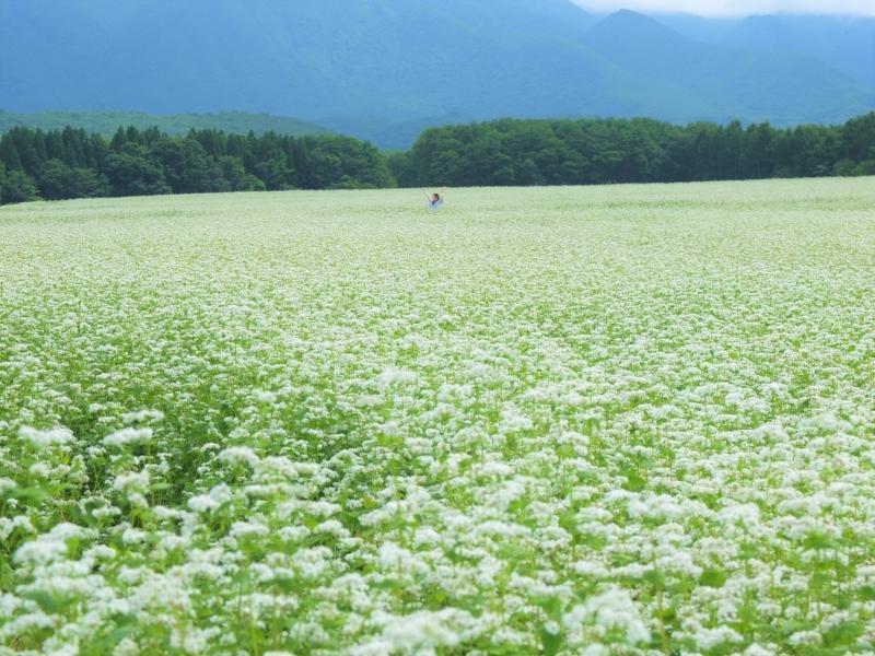 [福島下郷町]山奥に突如出現する絶景!そば畑の白い絨毯