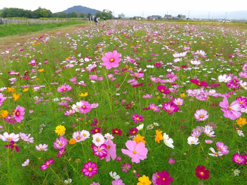 【奈良・大阪】コスモス・ダリア・バラも!秋の花が美しい名所8選