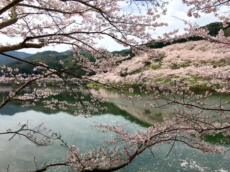 【佐賀】春まで待てない!本当は教えたくない桜の名所10選