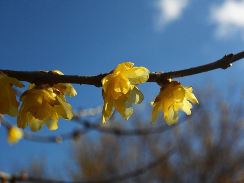 【群馬県安中市】県内最多の蝋梅咲くろうばいの郷