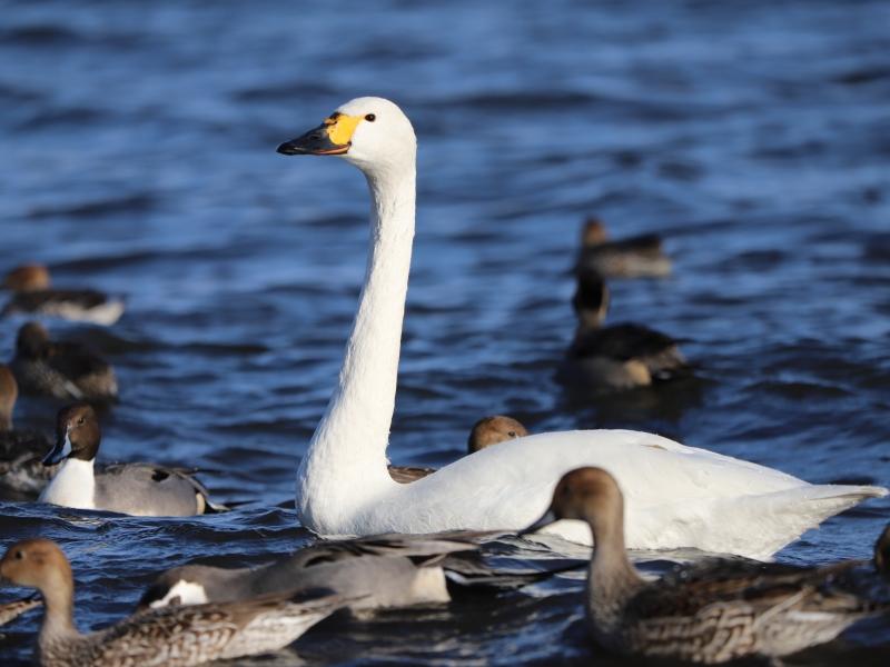 【福島・猪苗代湖】湖面の白鳥に逢える飛来地へ行こう!