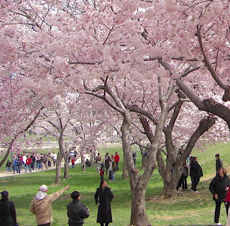 ワシントンD.C.の桜並木と全米桜祭りをトコトン楽しもう!