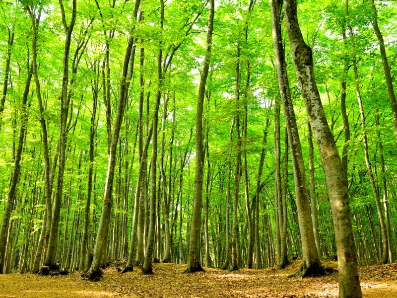 【新潟県】樹齢90年の美しいブナの森「美人林」を散策するモデルコース