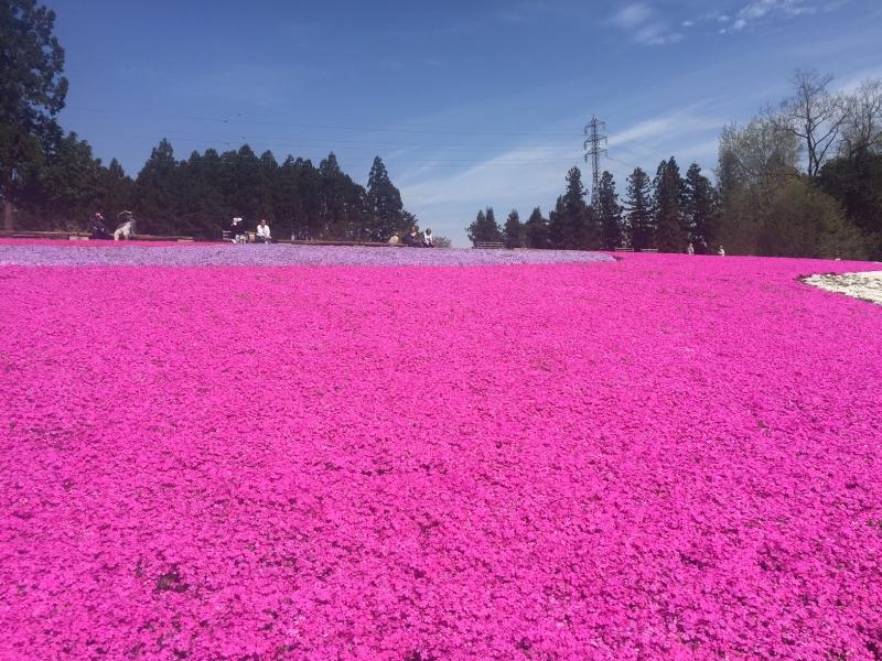 【埼玉・秩父】羊山公園の敷地を埋め尽くす!花のじゅうたん「芝桜の丘」を見に行こう!