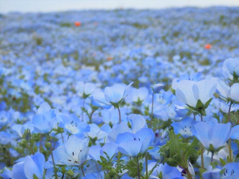 茨城【ひたち海浜公園】駐車場攻略でネモフィラの青の世界にうっとり